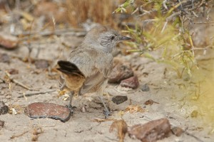 The endemic Patagonian Canastero (Pseudasthenes patagonica) foraging on the ground.