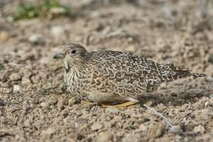 Female Least Seedsnipe (Thinocorus rumicivorus)