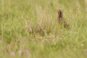 Loica Pampeana / Pampas meadowlark (Leistes defilippii). Vulnerable species