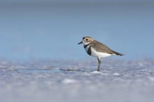 Two-banded Plover (Charadrius falklandicus)