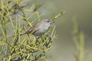 Sharp-billed Canastero (Asthenes pyrrholeuca)
