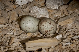 Turkey Vulture (Cathartes aura) eggs