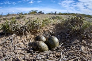 Southern Lapwing (Vanellus chilensis) eggs on nest.
