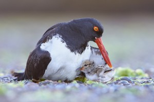American Oystercatcher (Haematopus palliatus) with chick