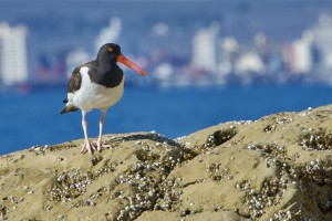 American Oystercatcher (Haematopus palliatus) with the city of Puerto Madryn in the background.