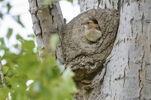 Rufous Hornero (Furnarius rufus) in nest.