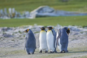 King penguins (Aptenodytes patagonicus) with a dead Sei Whale (Balaenoptera borealis) bones in the background